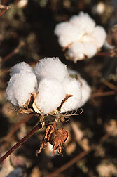 Photo: Cotton bolls.