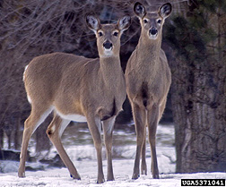 Photo: Two white tailed deer