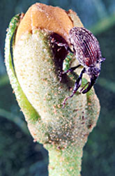 Photo: Boll weevil on a cotton bud. Link to photo information