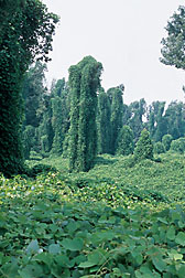 Photo: Kudzu engulfing a landscape. Link to photo information