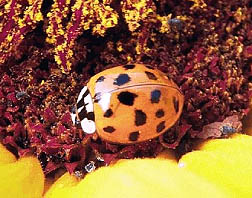 Photo: Asian Lady beetle.