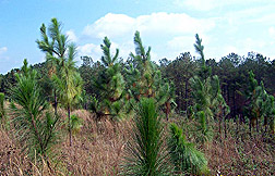 Photo: Longleaf pines.