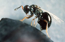 Photo: The parasitic wasp Nasonia vitripennis.
