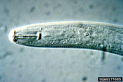 Photo: Soybean cyst nematode.