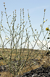 Photo: Flower of rush skeletonweed (Chondrilla juncea). Link to photo information