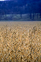 Photo: Field of soybeans.