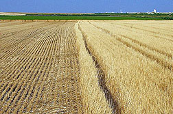 Photo: Tall wheat crop residues on the right; shorter residues on the left.