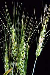 Photo: Chinese wheat that is resistant to Fusarium head blight disease. Link to photo information