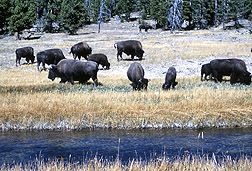 Photo: Herd of bison grazing in Yellowstone National Park. Link to photo information