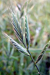 Photo: Brachypodium distachyon