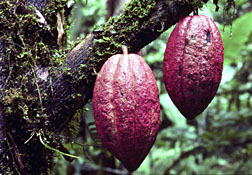 Photo: Cacao pods on the tree.