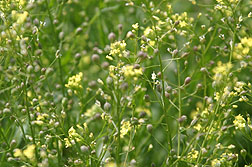 Photo: Camelina sativa. Link to photo information