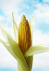 Photo: Corn.