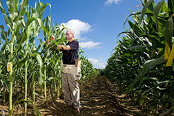 Photo: ARS geneticist Paul Williams tags corn plants with molecular markers associated with resistance to aflatoxin. Link to photo information