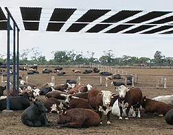 Photo: Cattle resting under a shading structure.