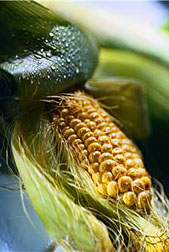Photo: Partially shucked ear of corn.