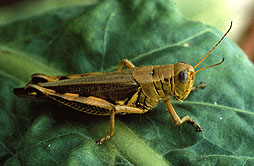 Photo: Grasshopper on a leaf.