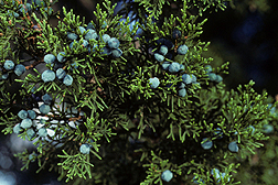 Photo: Juniperus ashei J. Buchholz