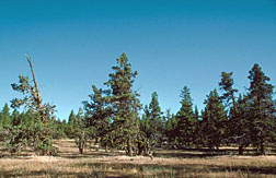Photo: Western juniper (Juniperus occidentalis)