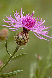 Photo: Spotted knapweed flower.