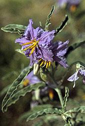 Photo: Silverleaf nightshade, Solanum elaeagnifolium.
