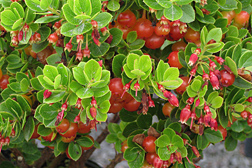 Photo: Ohelo berry, a popular native Hawaiian fruit.