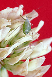 Photo: Pea aphid on clover flower.