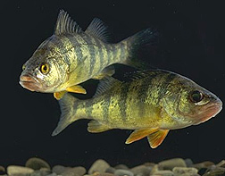 Photo: Two yellow perch swimming.