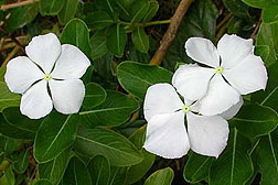 Photo: Periwinkle. Link to photo information
