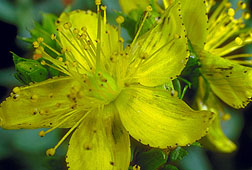 Photo: St. John's wort flowers.