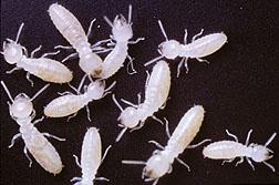 Photo: Subterranean termites
