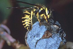 Photo: Southern yellow jacket. Link to photo information