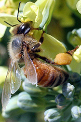 Photo: Honey bee on broccoli flower.