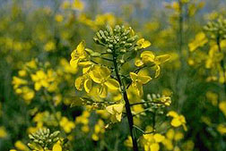 Photo: Canola flower.