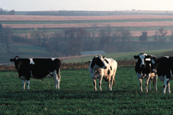 Photo: Dairy cows in a field.