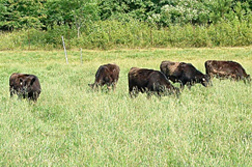 Photo: Cattle grazing.