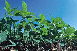 Photo: Soybeans growing in a field.