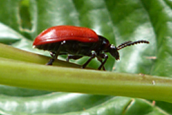 Photo: Air potato beetle (Liliocersis cheni).