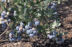 Photo: Gupton blueberries ripening on the bush. Link to photo information