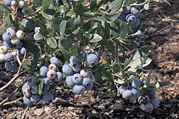 Los arándanos altos 'Gupton' madurando en la planta.