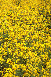 Photo: Canola plants in the field. Link to photo information
