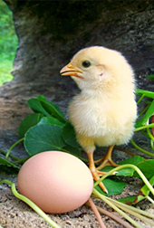 Photo: Chick standing next to an egg.