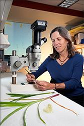 Genetista Sarah Hake examina muestras del césped Panicum virgatum.