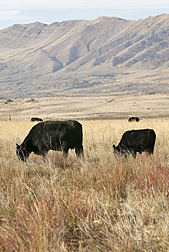 Photo: Angus cows grazing on grass and forage kochia in Utah. Link to photo information