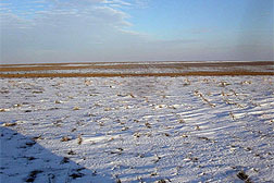 Photo: Wheat stubble in a field covered with snow.