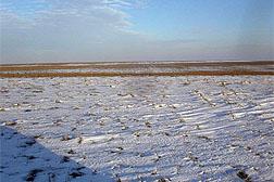 Residuos de trigo en un campo cubierto de nieve.