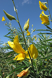 Photo: Sunn hemp (Crotalaria juncea). Link to photo information