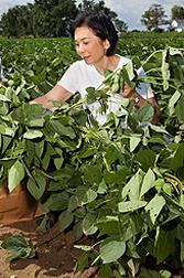 Tara Van Toai, quien es fisióloga de plantas (ahora retirada) con el ARS, examina plantas de soja que podrían tener un nivel aumentando de tolerancia a la inundación. Enlace a la información en inglés sobre la foto