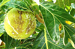 Photo: Breadfruit.