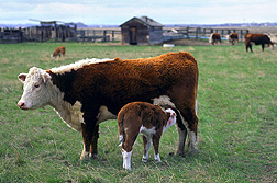 Photo: Hereford cow and calf. Link to photo information